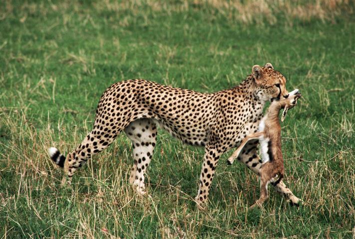 Фотообои животное леопард дикий леопард