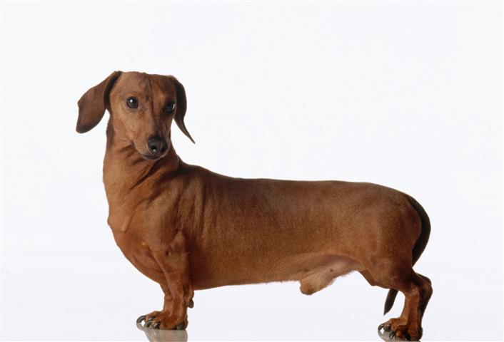 Фотошпалери тварина такса собака фауна