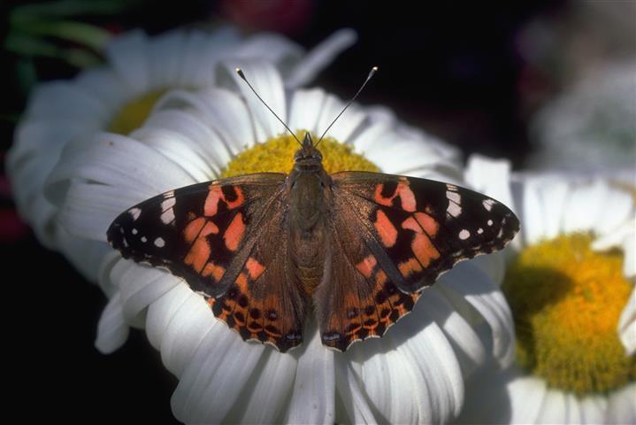 Фотошпалери метелик метелик ромашка кропив'янка