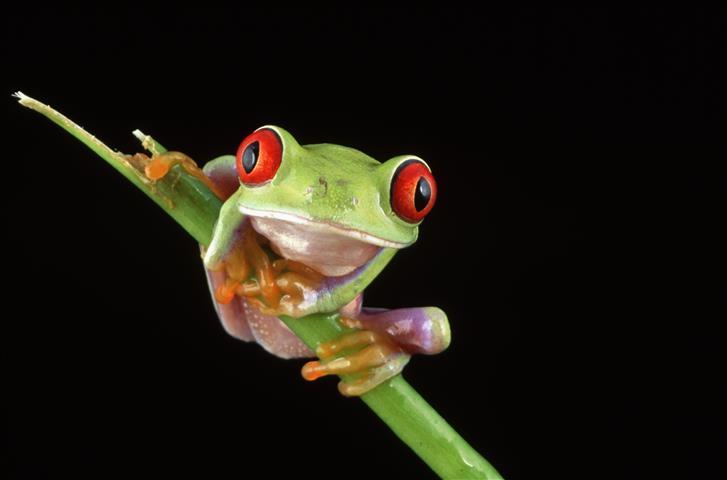 Фотошпалери жаба жаба зелений фауна