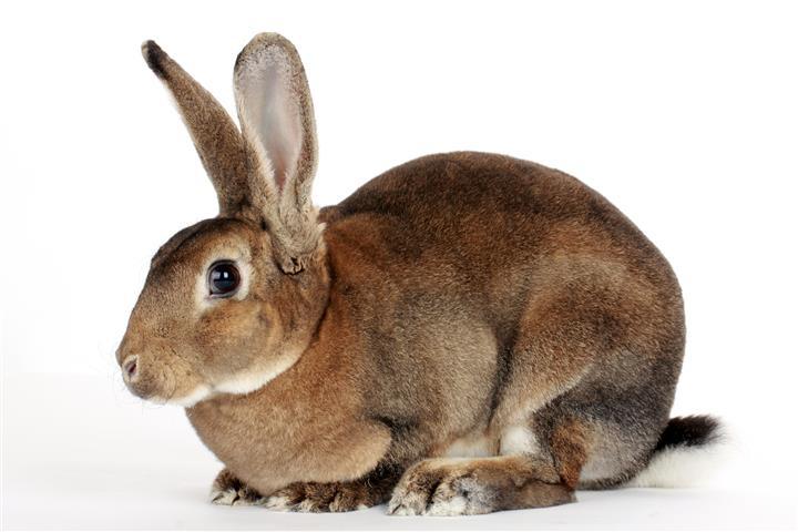 Фотообои животное, кролик, коричневый, фауна