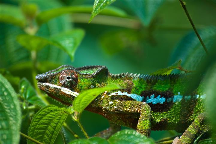 Фотообои животное хамелеон ящерица фауна