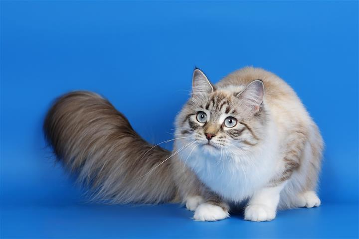 Фотошпалери тварина кіт кішка пухнастий