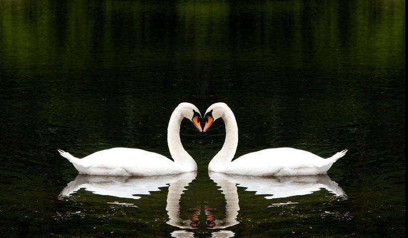 Фотошпалери птах лебідь пара фауна