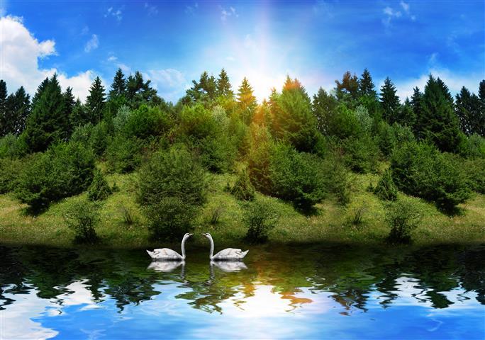 Фотошпалери птах лебідь пара озеро