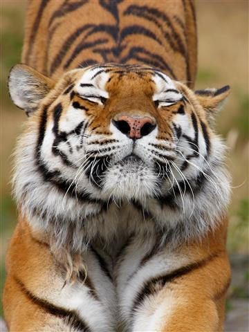 Фотошпалери тварина тигр дикий дикий
