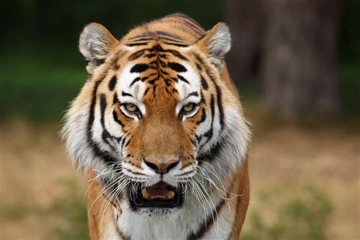 Фотообои животное тигр дикий дикий