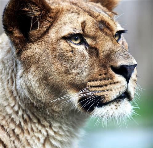 Фотообои животное лев дикий дикий