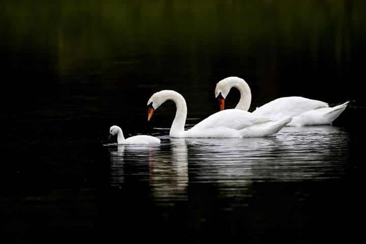 Фотошпалери птах лебідь плавати фауна