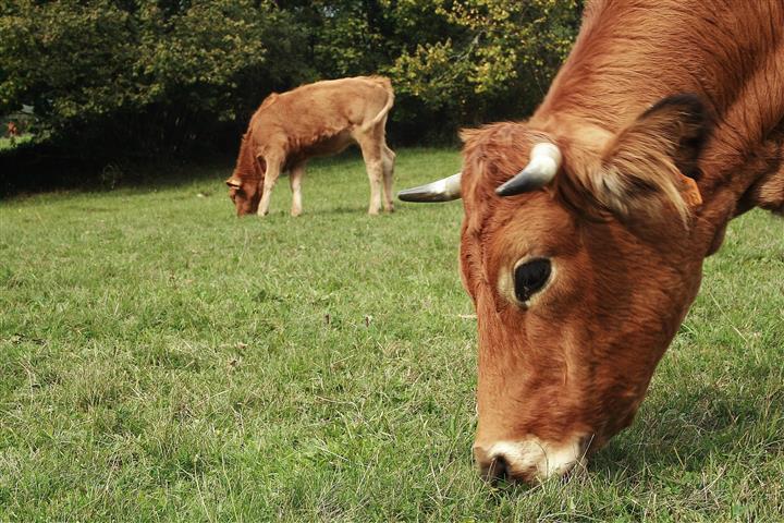 Фотообои животное корова пастбище трава
