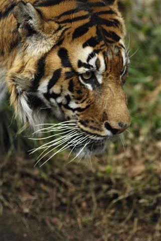 Фотообои животное тигр дикий узкий