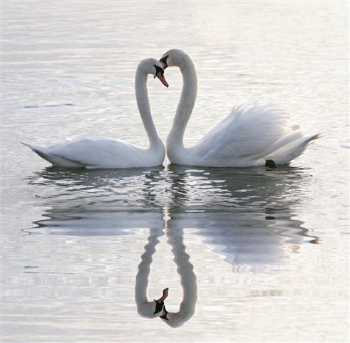 Фотошпалери птах лебідь пара кохання