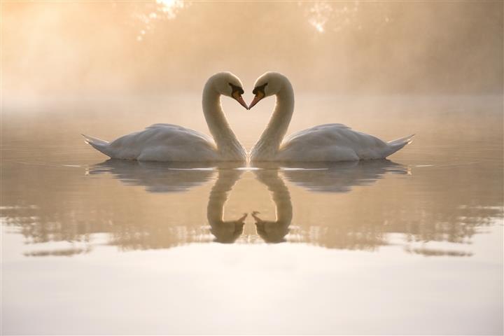 Фотообои птица лебедь пара любовь