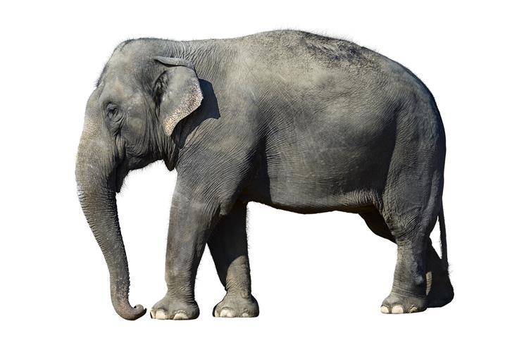 Фотообои животное слон дикий фауна