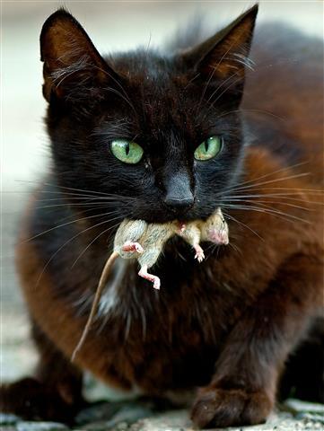 Фотообои охота кот кошка мышь