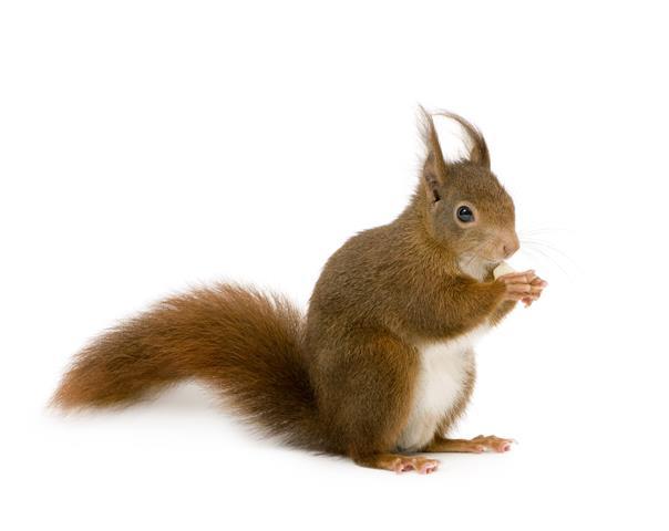 Фотообои животное белка дикий фауна