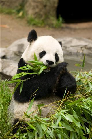 Фотообои животное панда китай фауна