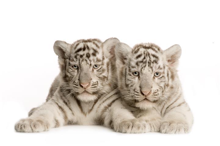 Фотошпалери тварина тигр тигреня білый