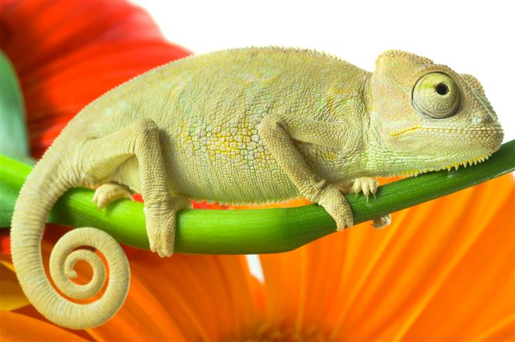 Фотообои животное хамелеон дикий фауна