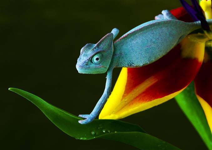 Фотообои земноводное хамелеон ящерица зеленый