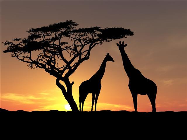 Фотообои животное жираф закат саванна