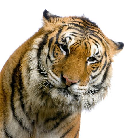 Фотообои животное тигр дикий фауна