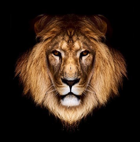 Фотообои животное лев черный фауна