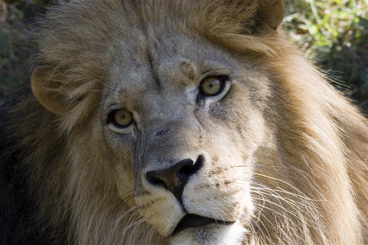 Фотообои животное лев дикий фауна