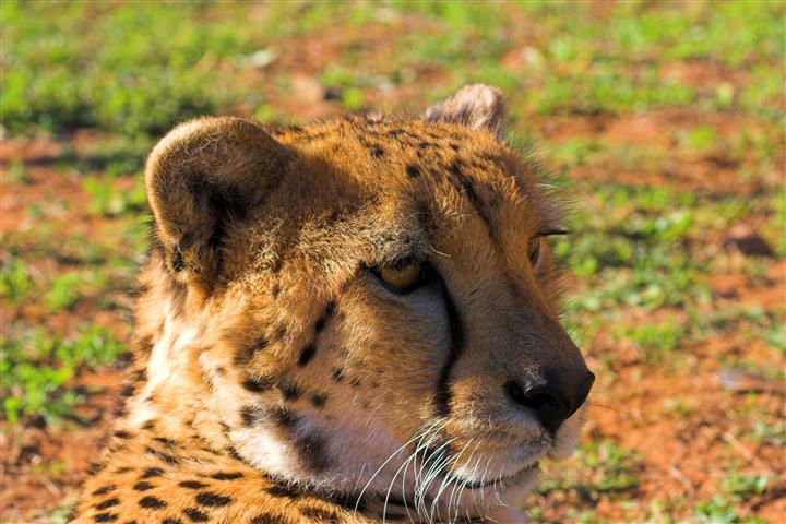 Фотошпалери тварина леопард дикий фауна
