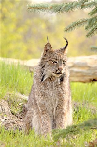 Фотообои животное кошка дикий рысь