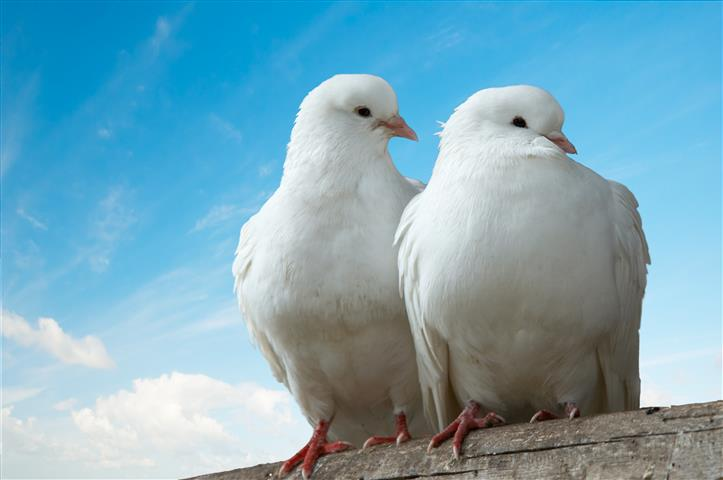 Фотошпалери птах голуб пара білый