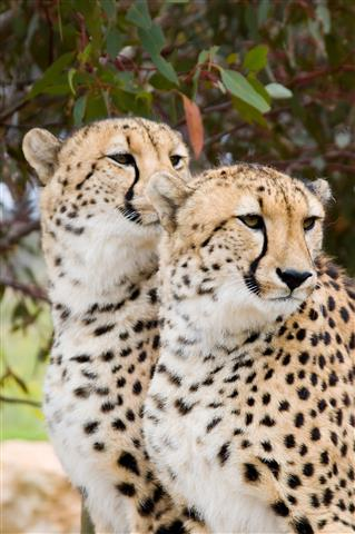 Фотообои животное леопард пара узкий