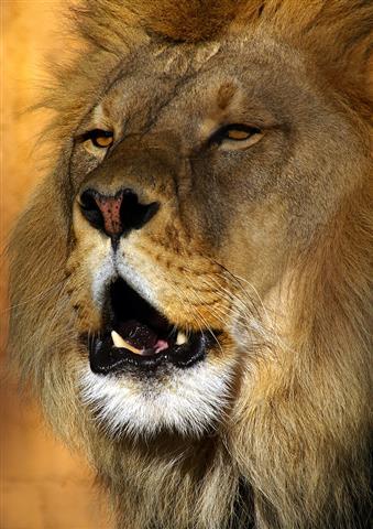 Фотошпалери тварина лев дикий фауна