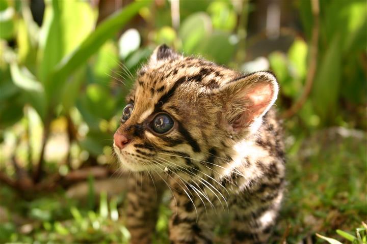 Фотообои животное леопард леопард котенок