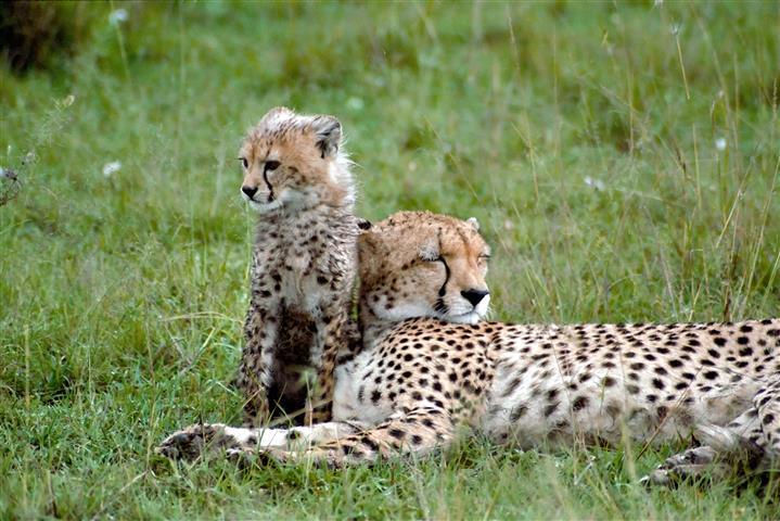 Фотошпалери тварина л л кошеня