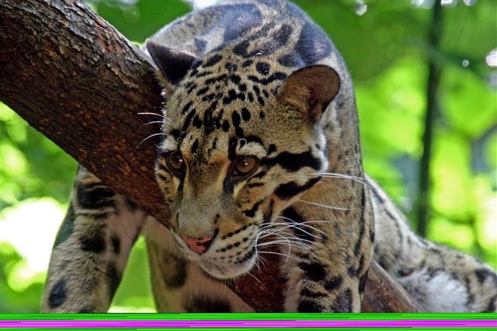 Фотошпалери тварина леопард леопард фауна