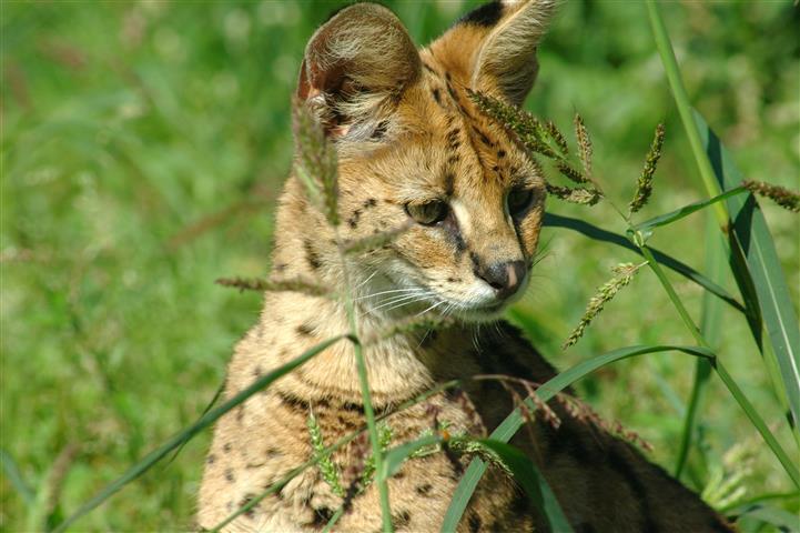 Фотошпалери тварина рысь рысь кошеня