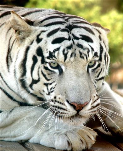 Фотошпалери тварина тигр тигр фауна
