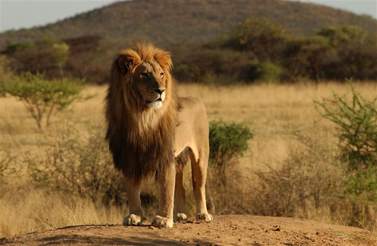 Фотошпалери тварина лев лев савана