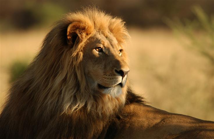 Фотообои животное лев лев саванна