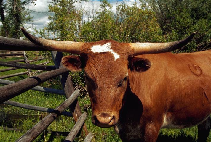 Фотошпалери тварина свійський свійський пасовище