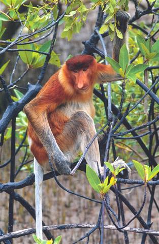 Фотошпалери тварина мавпа мавпа мавпа