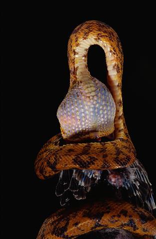 Фотошпалери тварина кобра кобра земноводне