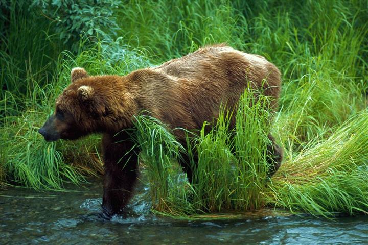 Фотообои животное медведь медведь фауна