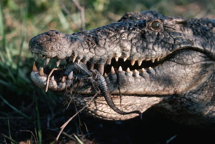 Фотошпалери рептилія дикий дикий крокодил