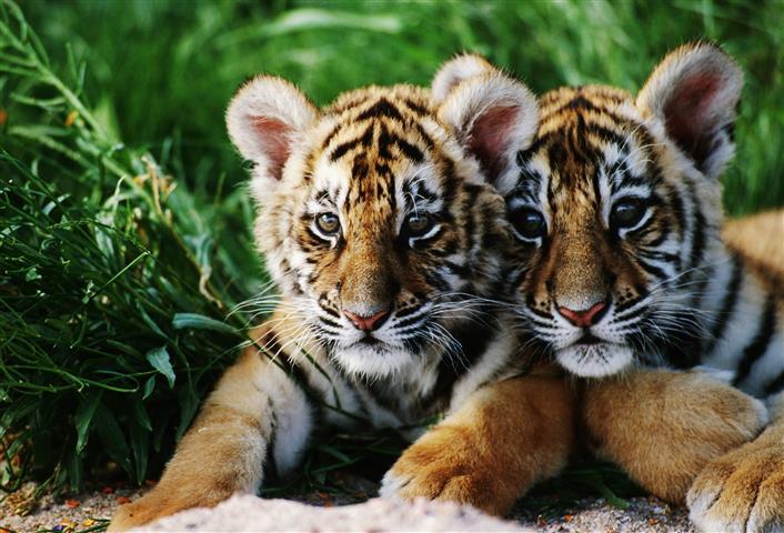 Фотообои животное тигр тигр котенок