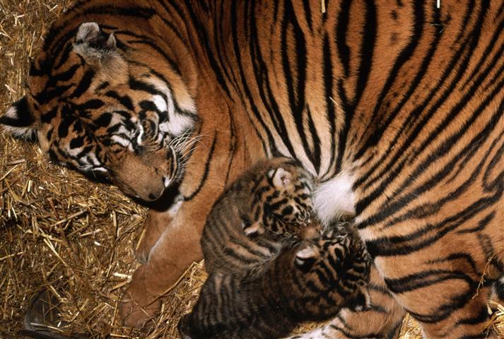 Фотошпалери тварина тигр тигр кохання