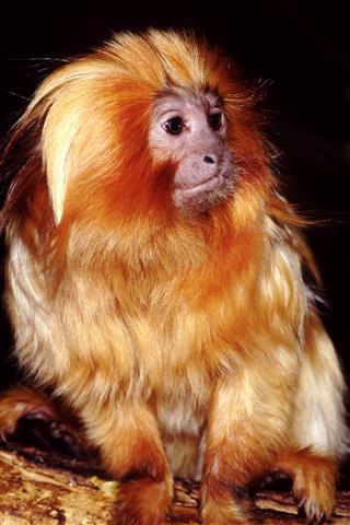 Фотошпалери тварина дикий дикий мавпа