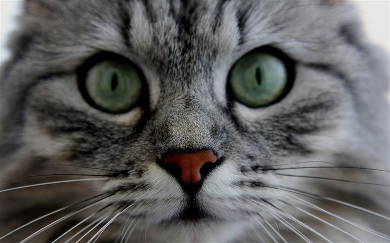 Фотошпалери тварина кішка кішка очі