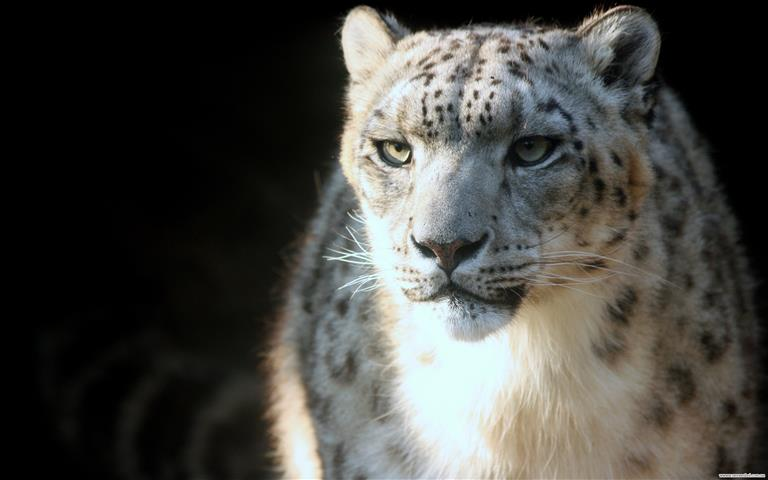 Фотообои животное леопард леопард фауна